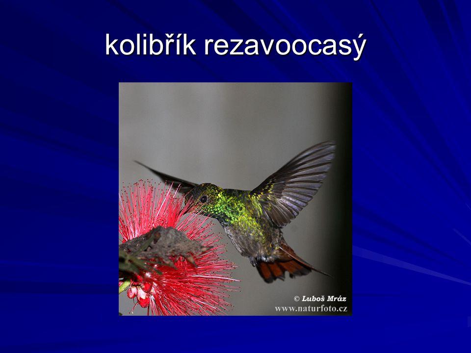 kolibřík rezavoocasý