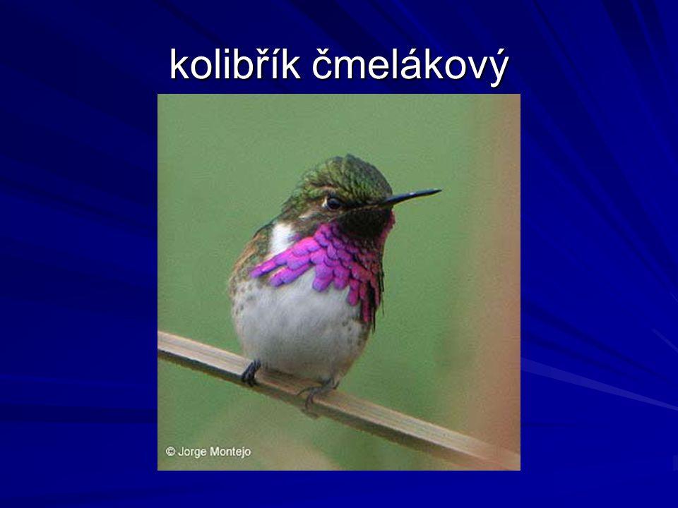 kolibřík čmelákový