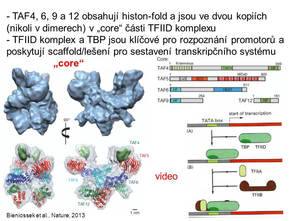 """- TAF4, 6, 9 a 12 obsahují histon-fold a jsou ve dvou kopiích (nikoli v dimerech) v """"core části TFIID komplexu"""
