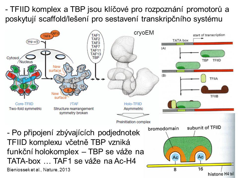 - TFIID komplex a TBP jsou klíčové pro rozpoznání promotorů a poskytují scaffold/lešení pro sestavení transkripčního systému