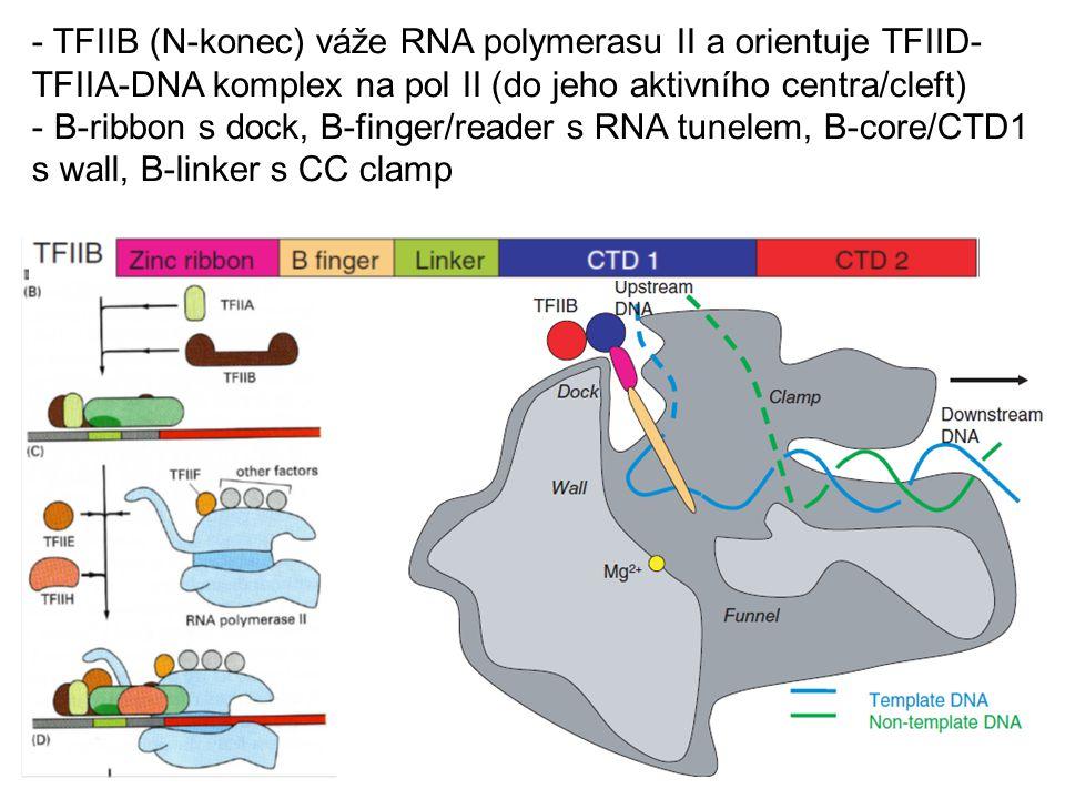 TFIIB (N-konec) váže RNA polymerasu II a orientuje TFIID-TFIIA-DNA komplex na pol II (do jeho aktivního centra/cleft)