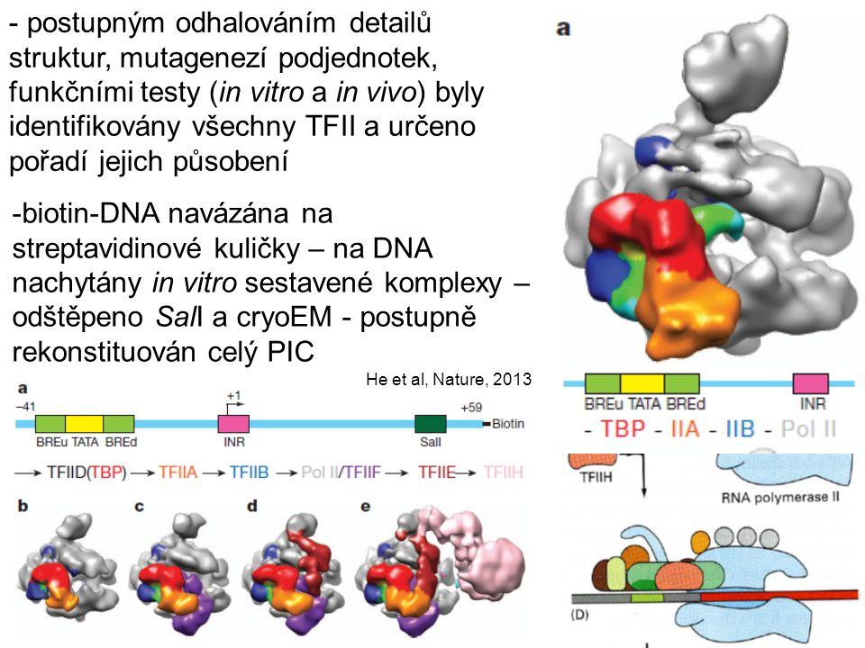 postupným odhalováním detailů struktur, mutagenezí podjednotek, funkčními testy (in vitro a in vivo) byly identifikovány všechny TFII a určeno pořadí jejich působení