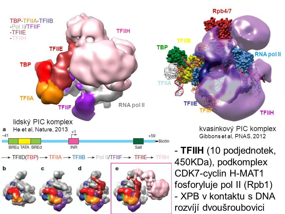 XPB v kontaktu s DNA rozvíjí dvoušroubovici