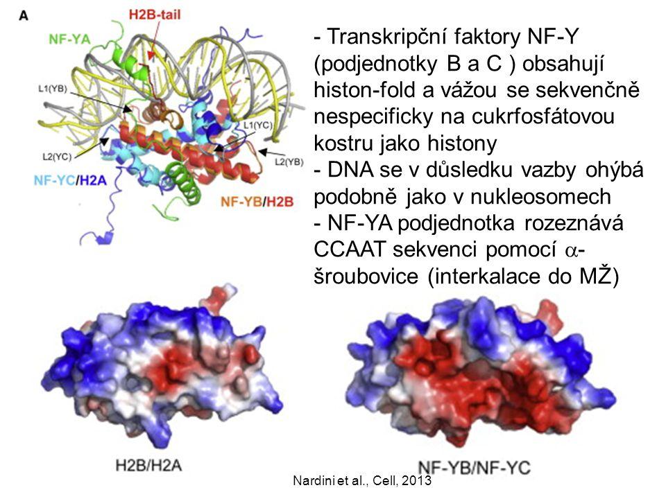 DNA se v důsledku vazby ohýbá podobně jako v nukleosomech