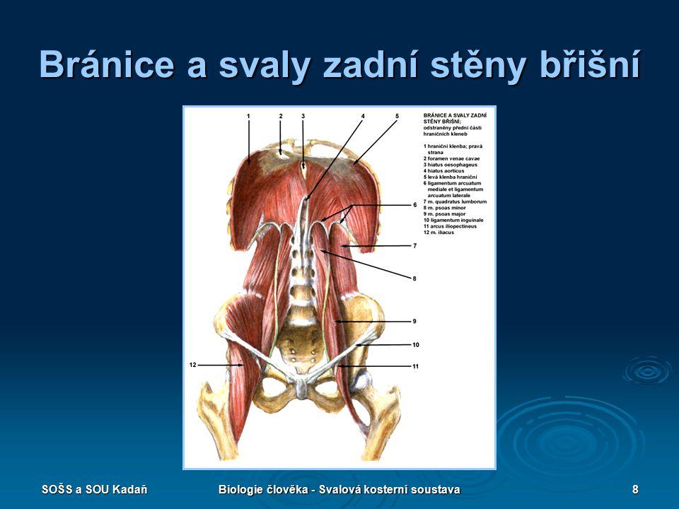 Bránice a svaly zadní stěny břišní
