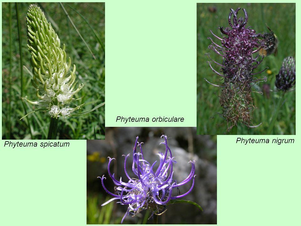 Phyteuma orbiculare Phyteuma nigrum Phyteuma spicatum