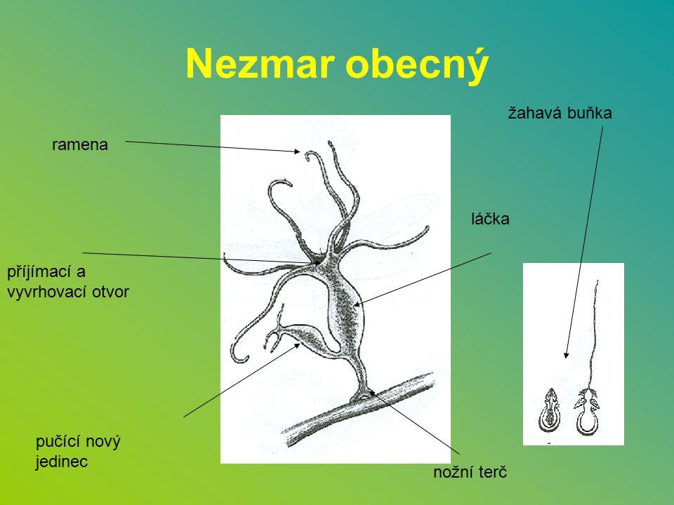Nezmar obecný žahavá buňka ramena láčka příjímací a vyvrhovací otvor