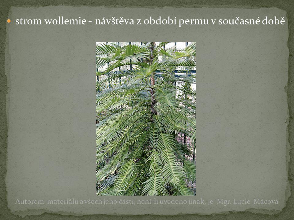 strom wollemie - návštěva z období permu v současné době