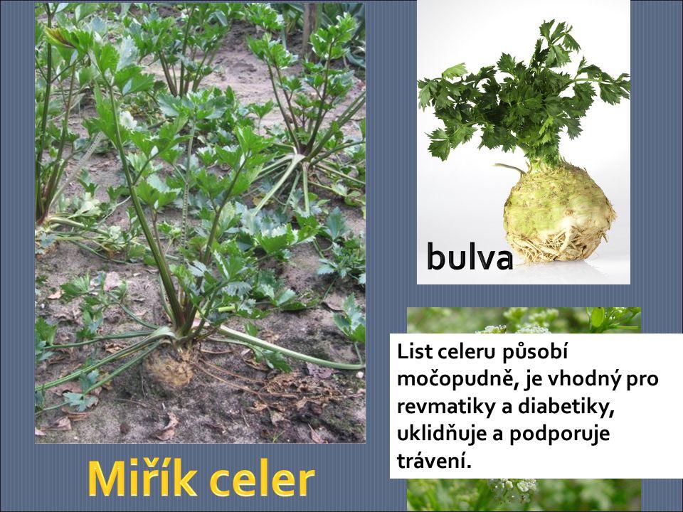 bulva List celeru působí močopudně, je vhodný pro revmatiky a diabetiky, uklidňuje a podporuje trávení.