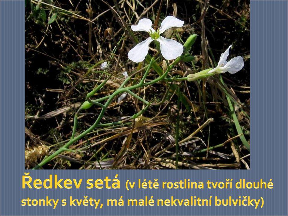 Ředkev setá (v létě rostlina tvoří dlouhé stonky s květy, má malé nekvalitní bulvičky)