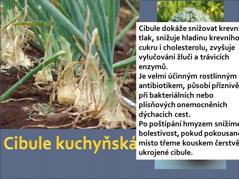 Cibule dokáže snižovat krevní tlak, snižuje hladinu krevního cukru i cholesterolu, zvyšuje vylučování žluči a trávicích enzymů. Je velmi účinným rostlinným antibiotikem, působí příznivě při bakteriálních nebo plísňových onemocněních dýchacích cest.