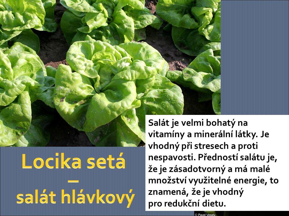 Locika setá – salát hlávkový