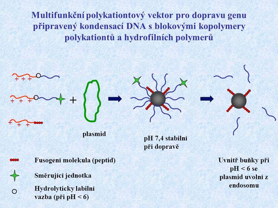 Uvnitř buňky při pH < 6 se plasmid uvolní z endosomu