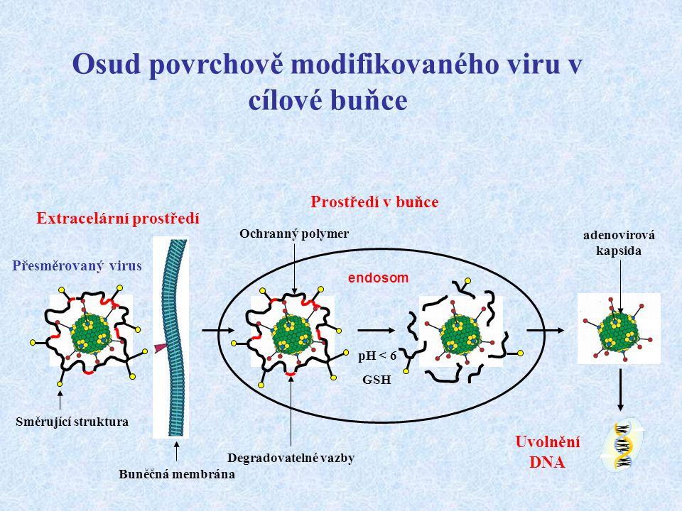 Osud povrchově modifikovaného viru v cílové buňce