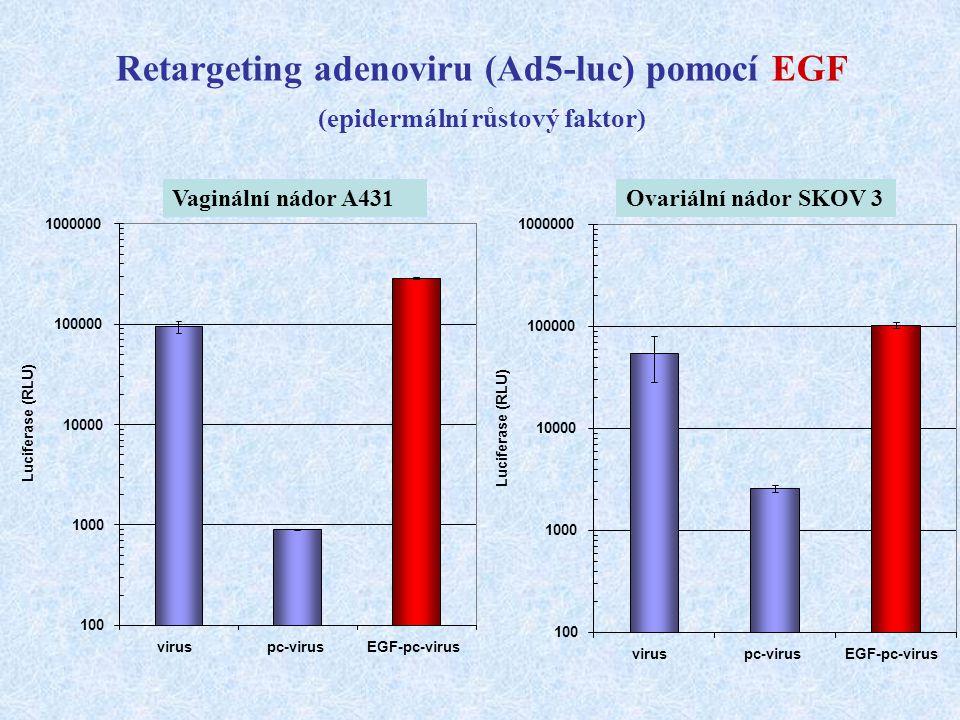 Retargeting adenoviru (Ad5-luc) pomocí EGF (epidermální růstový faktor)