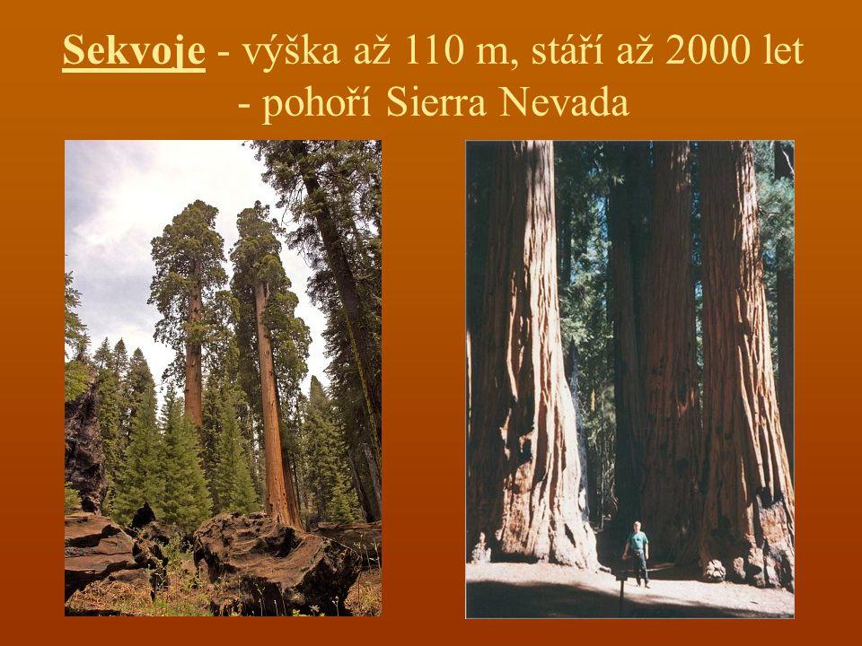 Sekvoje - výška až 110 m, stáří až 2000 let