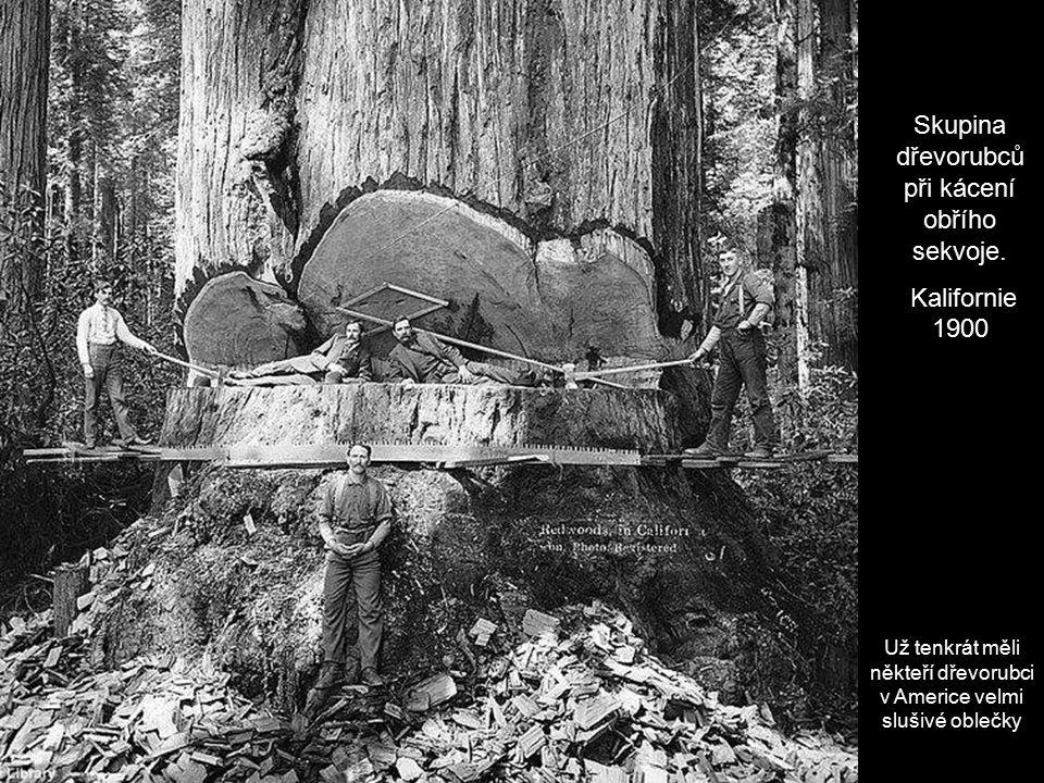 Skupina dřevorubců při kácení obřího sekvoje.
