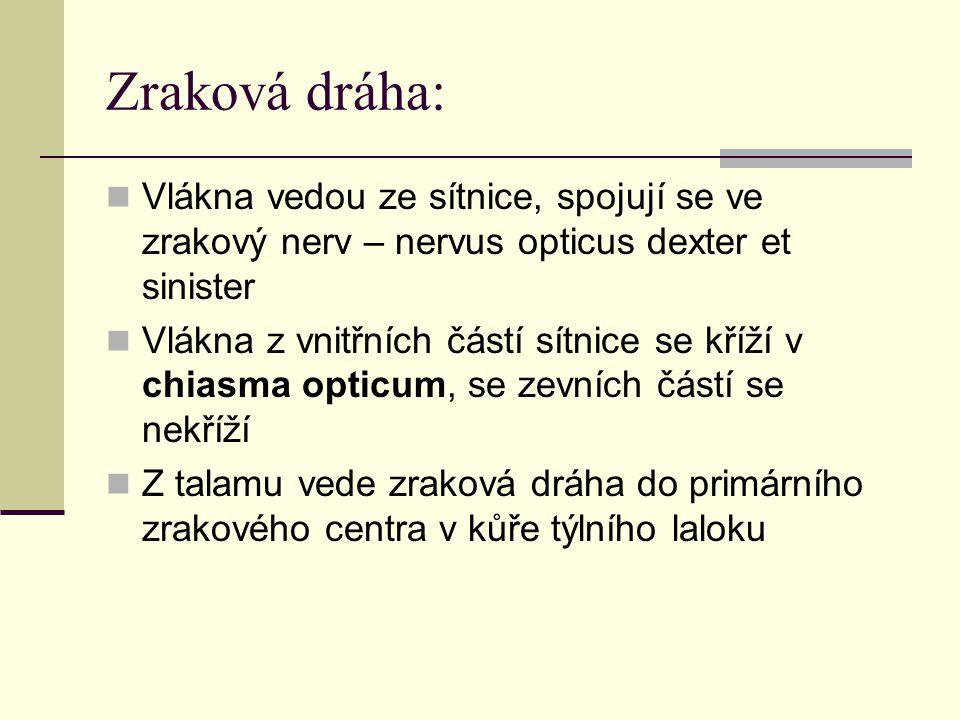 Zraková dráha: Vlákna vedou ze sítnice, spojují se ve zrakový nerv – nervus opticus dexter et sinister.