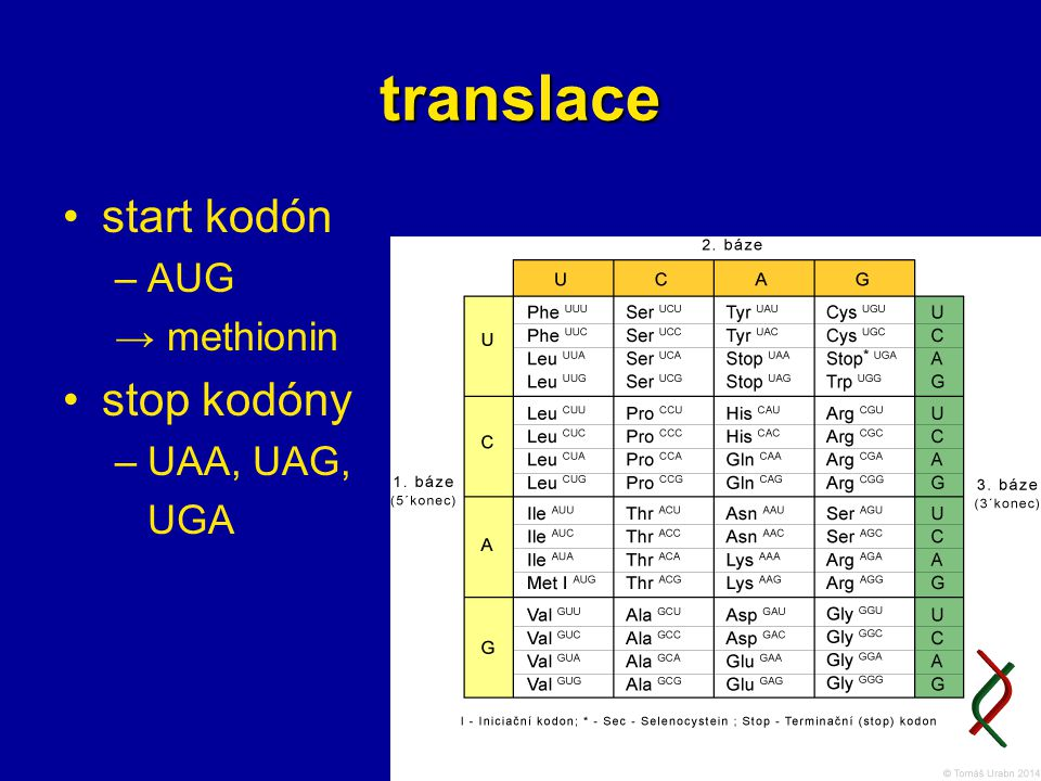 translace start kodón AUG → methionin stop kodóny UAA, UAG, UGA