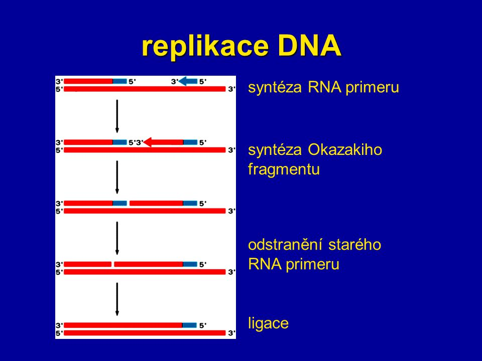 replikace DNA syntéza RNA primeru syntéza Okazakiho fragmentu