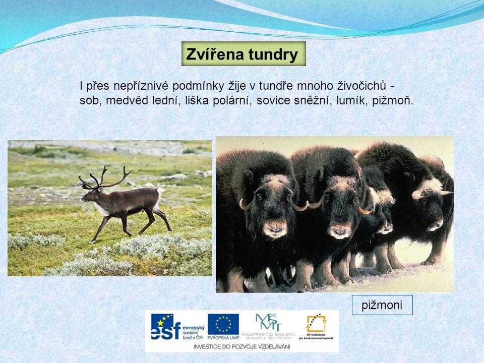 Zvířena tundry I přes nepříznivé podmínky žije v tundře mnoho živočichů - sob, medvěd lední, liška polární, sovice sněžní, lumík, pižmoň.