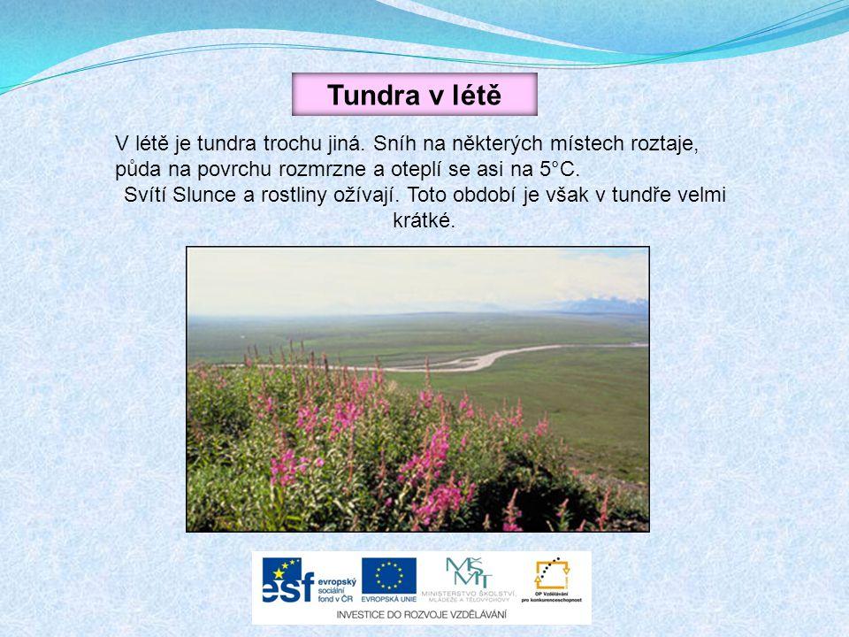 Tundra v létě V létě je tundra trochu jiná. Sníh na některých místech roztaje, půda na povrchu rozmrzne a oteplí se asi na 5°C.