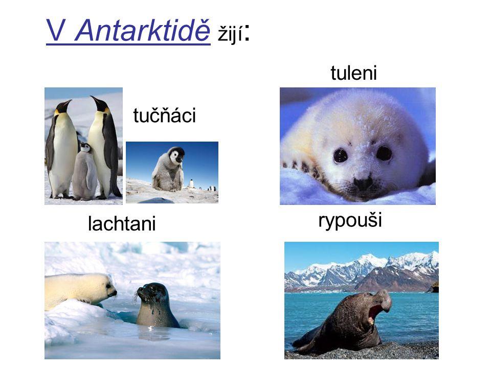 V Antarktidě žijí: tuleni tučňáci rypouši lachtani
