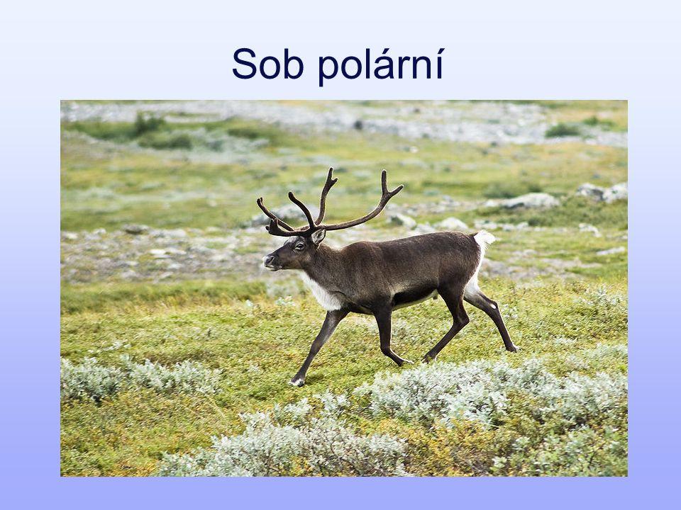 Sob polární