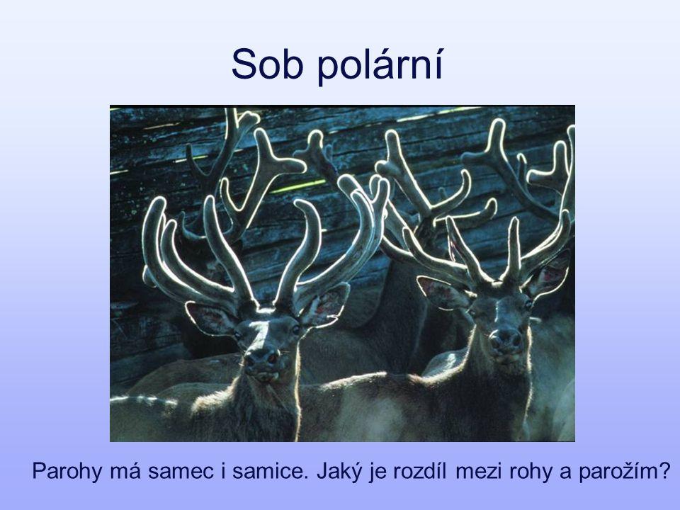 Sob polární Parohy má samec i samice. Jaký je rozdíl mezi rohy a parožím