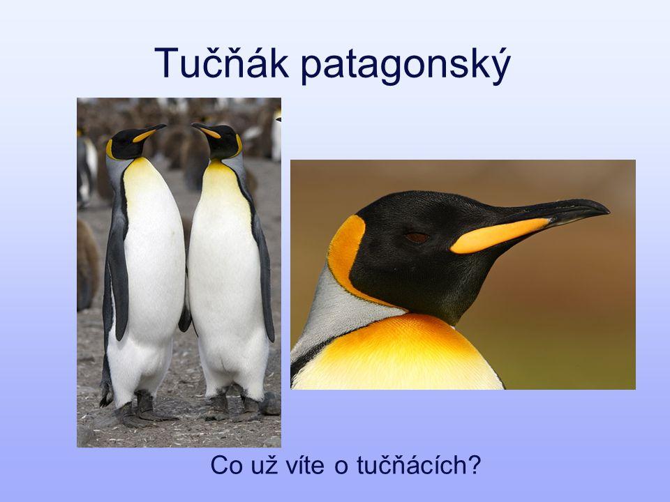Tučňák patagonský Co už víte o tučňácích