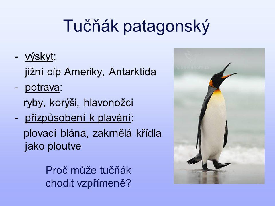 Proč může tučňák chodit vzpřímeně
