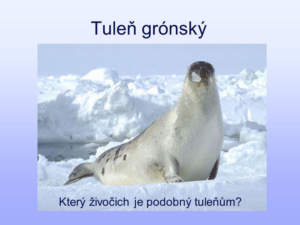 Tuleň grónský Který živočich je podobný tuleňům