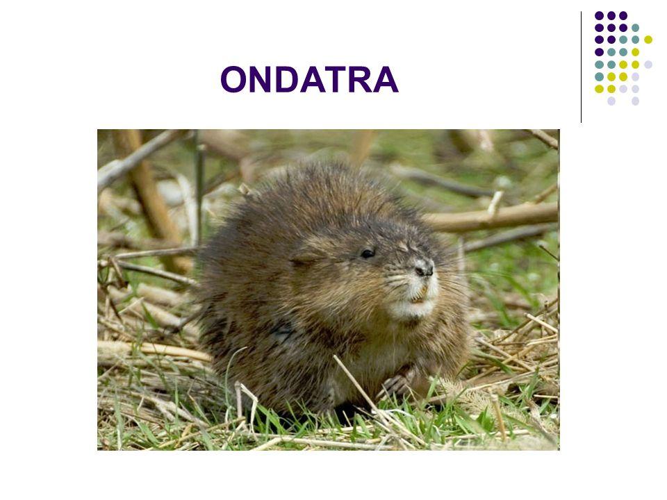 ONDATRA