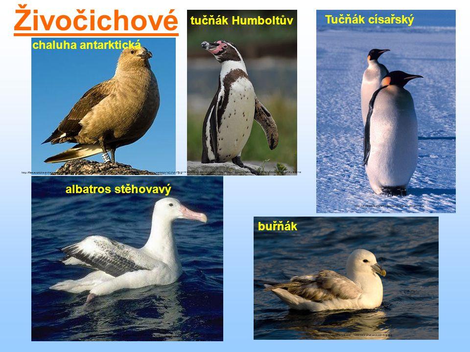 Živočichové tučňák Humboltův Tučňák císařský chaluha antarktická