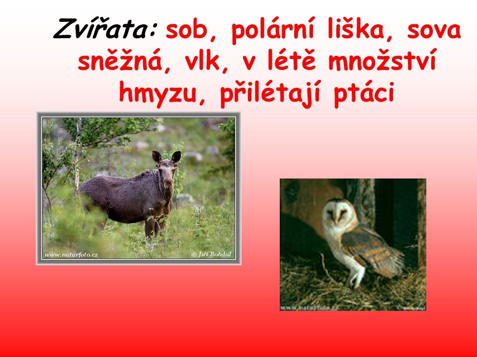 Zvířata: sob, polární liška, sova sněžná, vlk, v létě množství hmyzu, přilétají ptáci