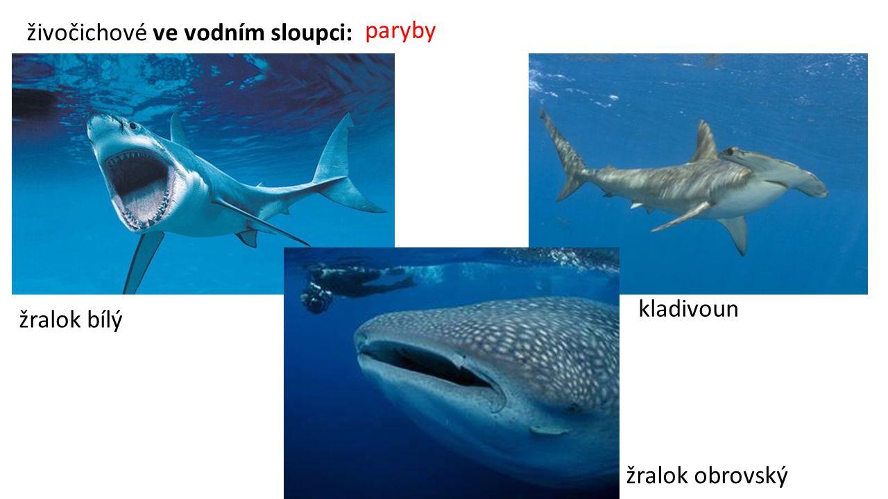 paryby živočichové ve vodním sloupci: kladivoun žralok bílý žralok obrovský