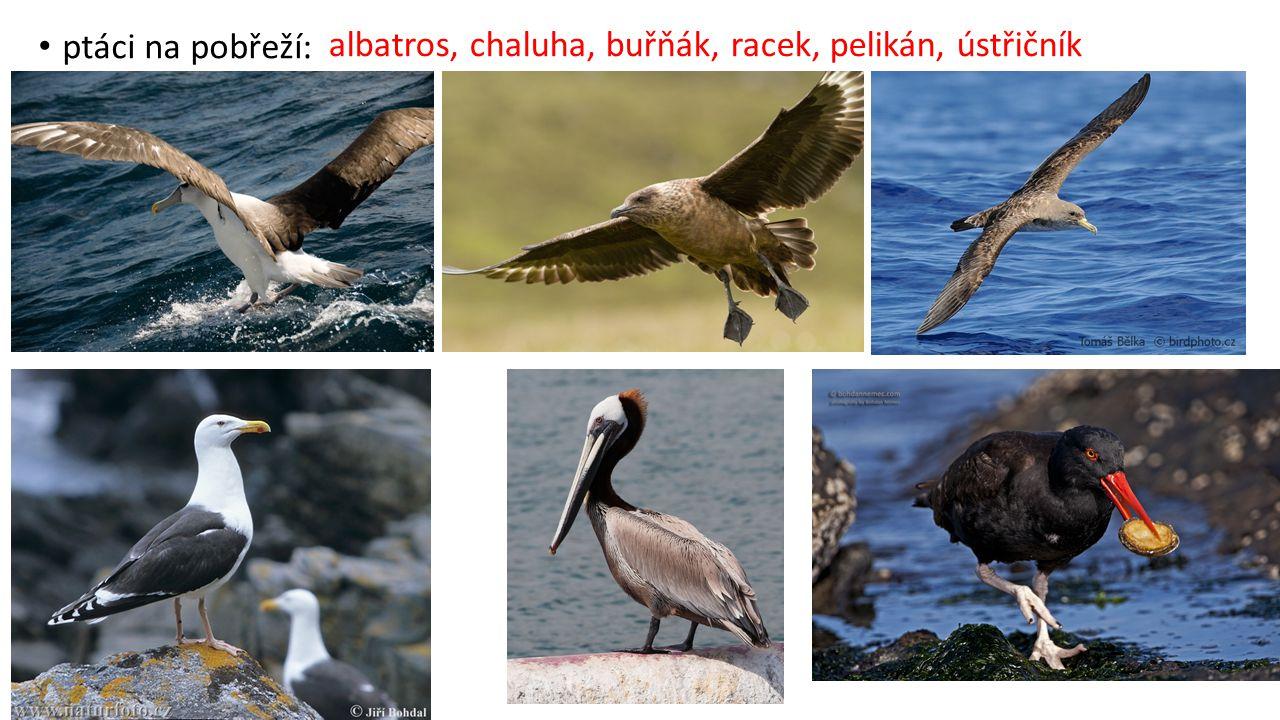albatros, chaluha, buřňák, racek, pelikán, ústřičník