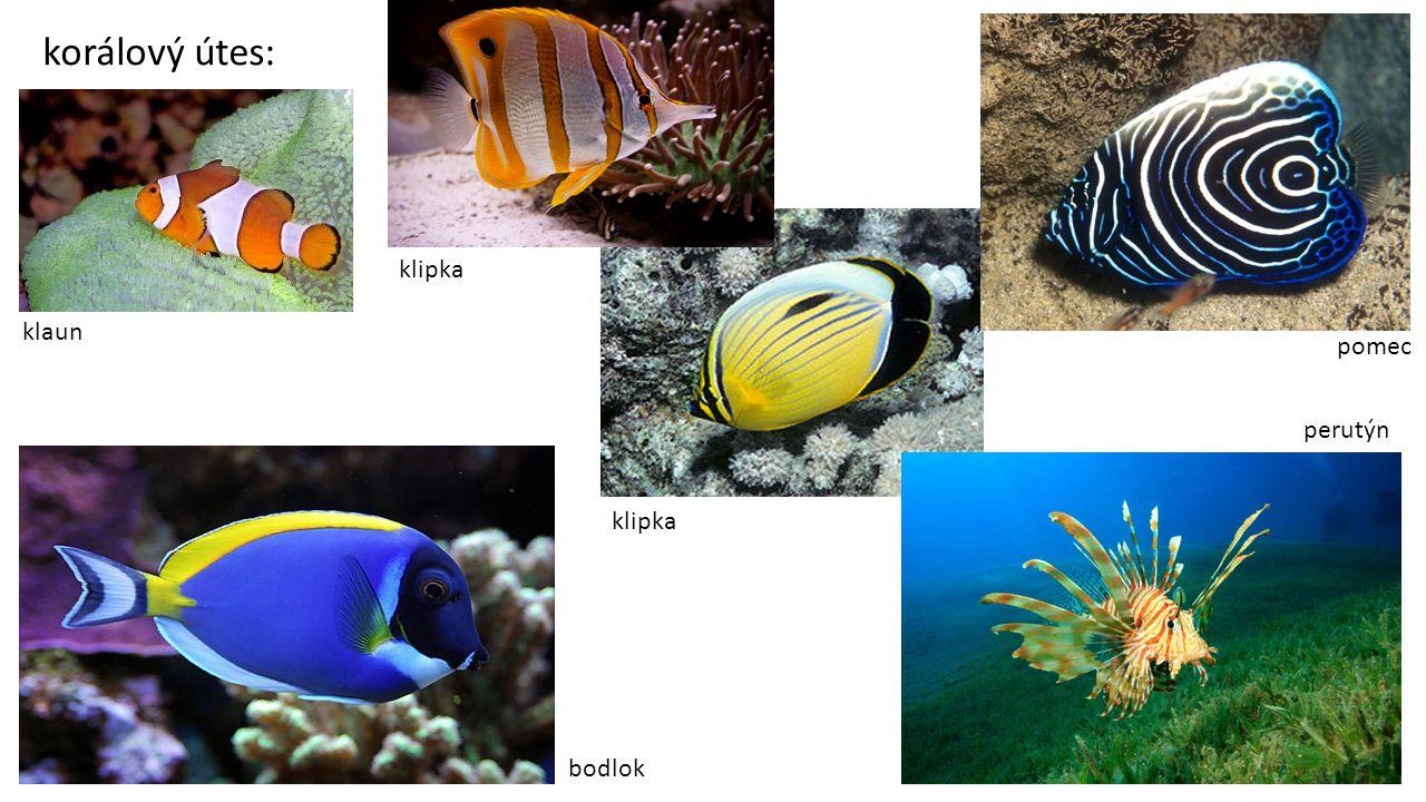 korálový útes: klipka klaun pomec perutýn klipka bodlok