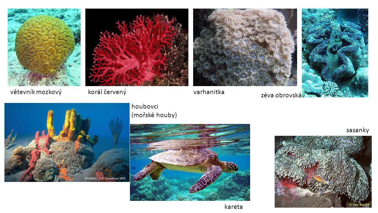 větevník mozkový korál červený varhanitka zéva obrovská houbovci