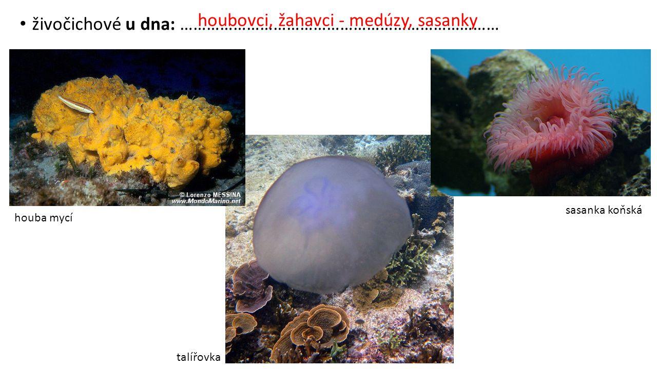 houbovci, žahavci - medúzy, sasanky
