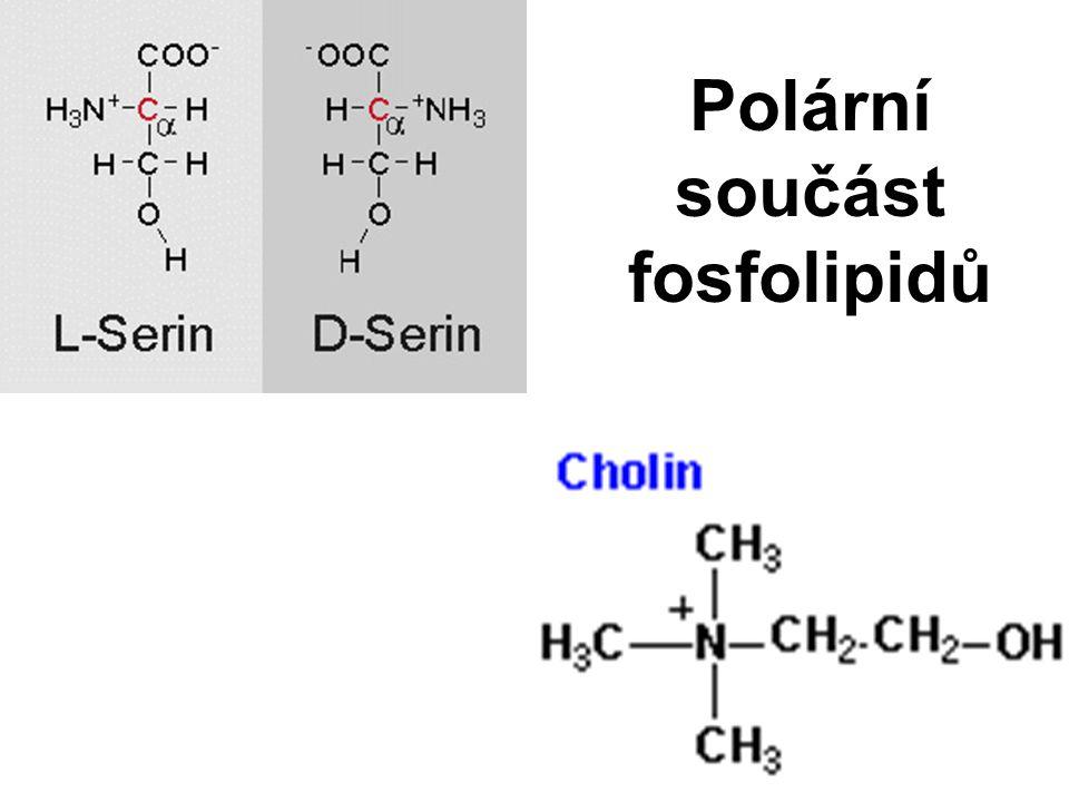 Polární součást fosfolipidů