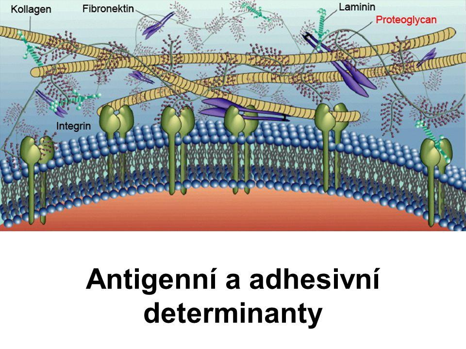 Antigenní a adhesivní determinanty