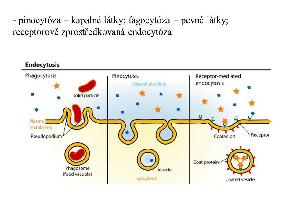 - pinocytóza – kapalné látky; fagocytóza – pevné látky; receptorově zprostředkovaná endocytóza