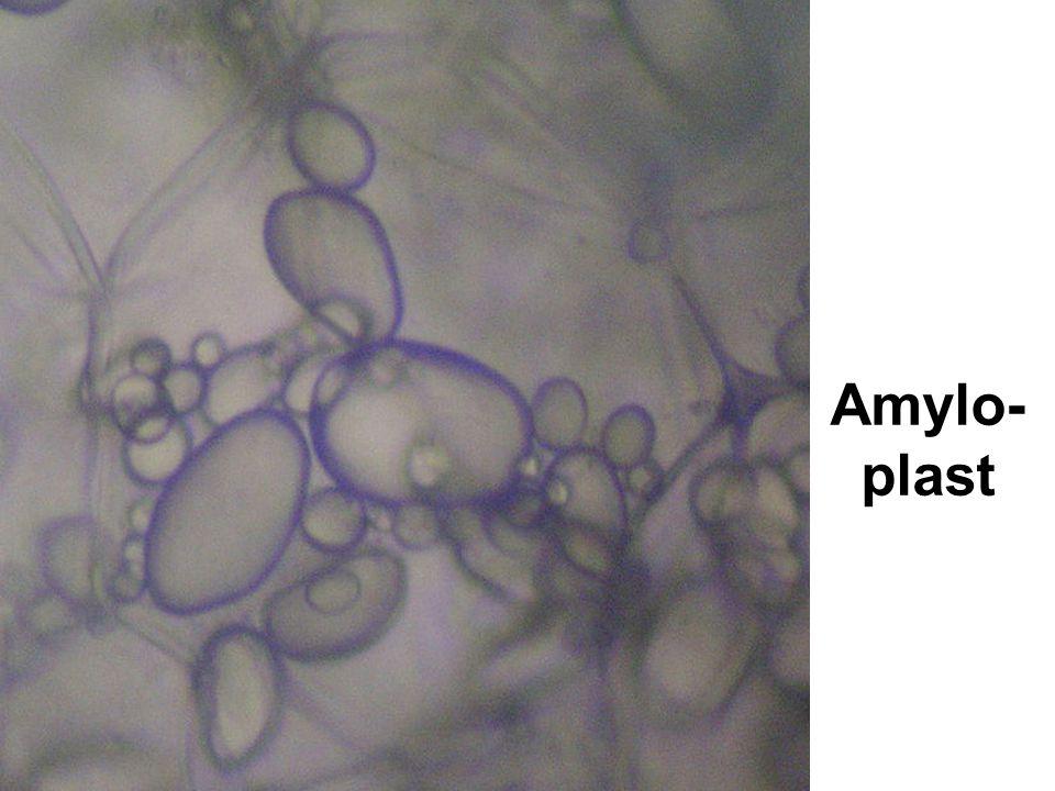 Amylo-plast