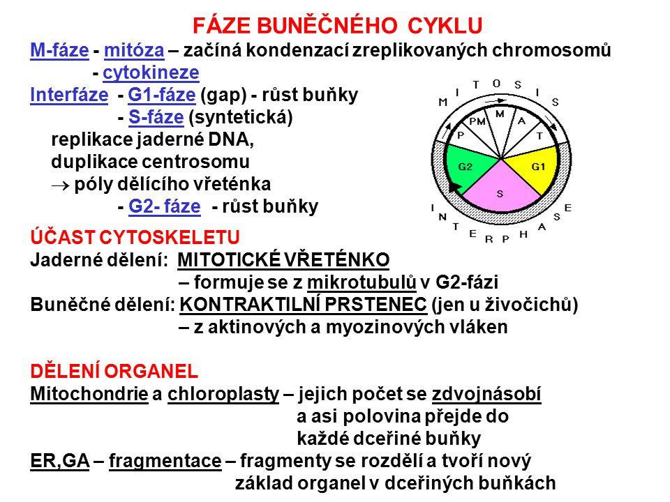 FÁZE BUNĚČNÉHO CYKLU M-fáze - mitóza – začíná kondenzací zreplikovaných chromosomů. - cytokineze. Interfáze - G1-fáze (gap) - růst buňky.