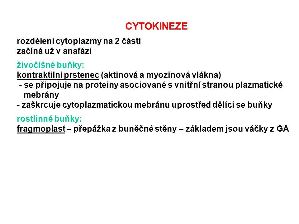 CYTOKINEZE rozdělení cytoplazmy na 2 části začíná už v anafázi