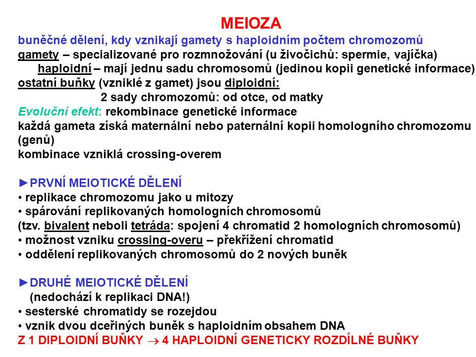 MEIOZA buněčné dělení, kdy vznikají gamety s haploidním počtem chromozomů. gamety – specializované pro rozmnožování (u živočichů: spermie, vajíčka)