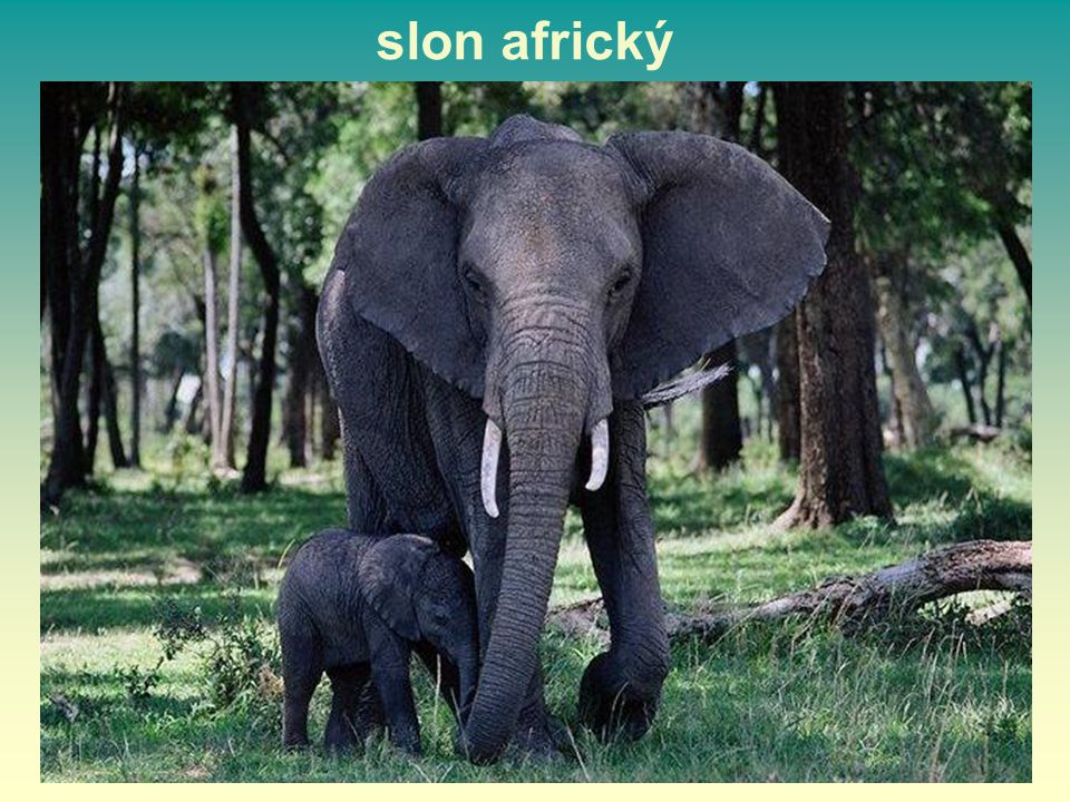 slon africký 14 14