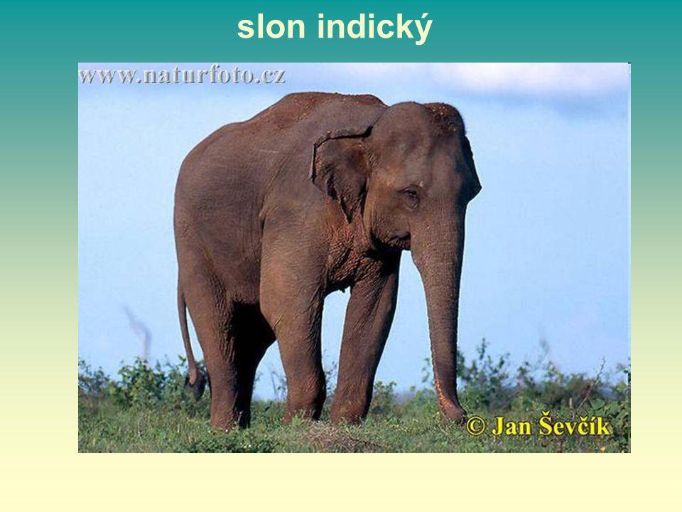 slon indický 15 15