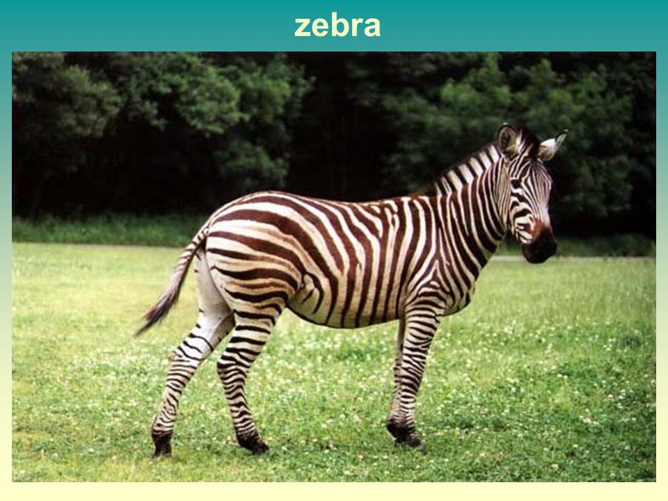 zebra 18 18